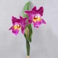 Cattleya Orchidx2 17 inches # Orchid