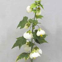 Abutilon 27 inches # White