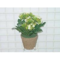 Sell SM KALANCHOE IN POT