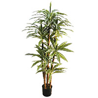 "66"" Dracaena Warneckii w/161 Lvs.on"